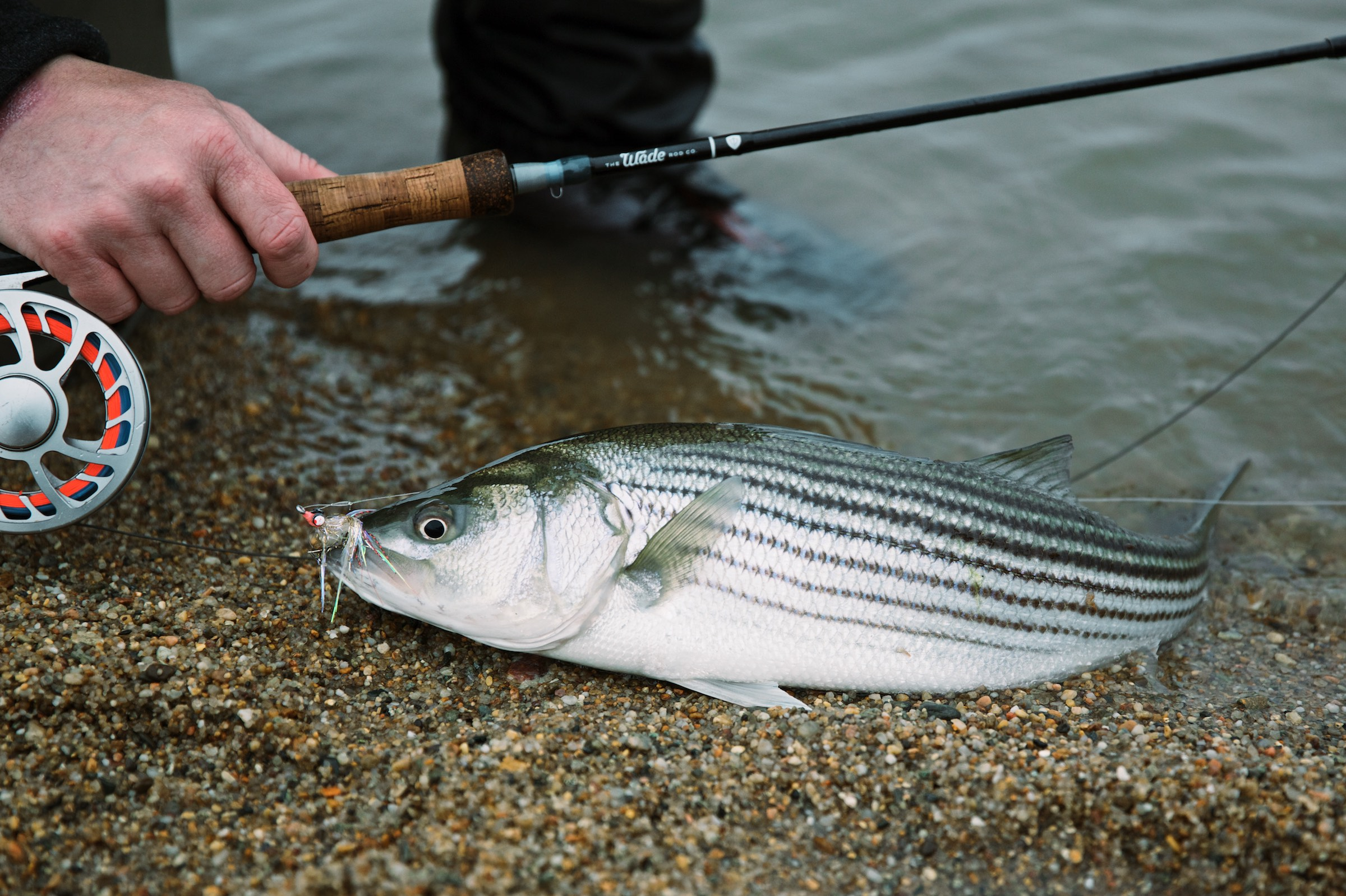 What You Need to Start Fly Fishing for Schoolie Striped Bass